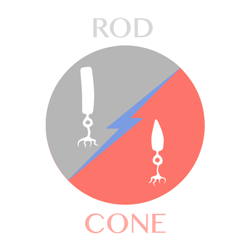 rod-cone